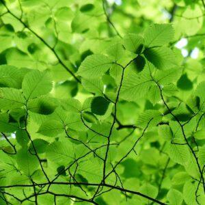 Green Beech